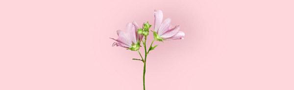 درمان سرفه با گل ختمی